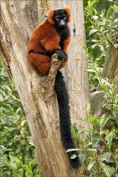 Red-ruffed lemurs are famous for their loud, deep calls; early explorers of Madagascar thought they were hearing the groans of the dead! Interesting Animals, Unusual Animals, Rare Animals, Zoo Animals, Animals And Pets, Strange Animals, Primates, Mammals, Especie Animal