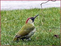 Green woodpecker @ Calcutt Marina by Blaine Harris www.calcuttboats.com