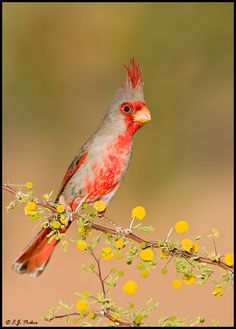 Pyrrhuloxia Cardinalis sinuatus ORDER: PASSERIFORMES FAMILY: CARDINALIDAE