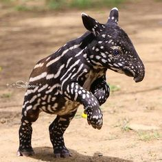 """"""" We're featuring unusual animals today."""" We're featuring unusual animals today. If you know what it is, please tell us in a comment. Amazing Animals, Interesting Animals, Unusual Animals, Rare Animals, Jungle Animals, Cute Baby Animals, Animals Beautiful, Funny Animals, Baby Exotic Animals"""