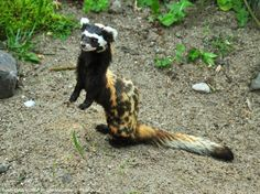Marbled polecat is a small mammal belonging to the Mustelinae. Found in dry areas and grasslands of southeastern Europe to western China. It can emit a strong-smelling secretion from anal sacs. Photo by: K. Rudloff