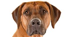 Right breed for you? Rhodesian Ridgeback information including personality, history, grooming, pictures, videos, how to find a Rhodesian Ridgeback and AKC standard.