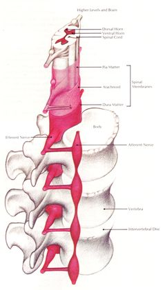 """Figure 24.10: """"The spinal cord."""""""