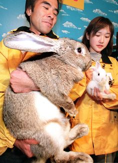 Animal keepers at a Tokyo zoo display a Flemish Giant Rabbit weighing 22 pounds! and 31 lbs for my Flemish bunnies-Jess Giant Bunny, Big Bunny, Cute Bunny, Giant Rabbit Breeds, Flemish Giant Rabbit, Large Animals, Animals And Pets, Baby Animals, Cute Animals