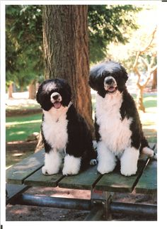 #Portuguese Water Dogs. Do you have a favorite breed of dog? These ones are so cute!