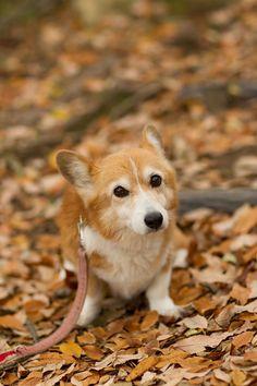 Corgi in the leaves