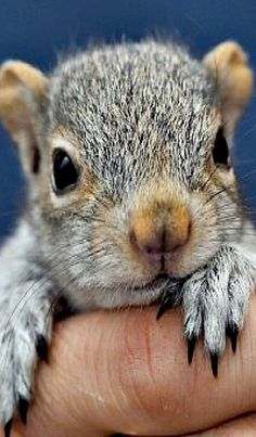 If you find a baby squirrel or injured squirrel. Cute Squirrel, Baby Squirrel, Squirrels, Cute Baby Animals, Animals And Pets, Funny Animals, Wild Animals, Tier Fotos, Cute Animal Pictures