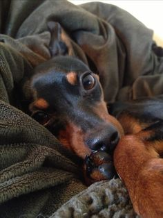 That face! Max, my miniature pinscher