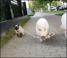 Animated CAT GIF • Amazing animals when 2 pigs take their friend the Cat for a little walk in the street