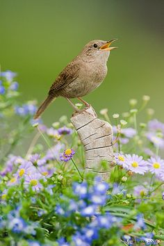 House wren in flowers #LivingLifeInFullBloom hospitality to the wild #birds #messengersFromHeven