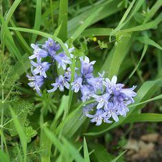 HYACINTHOIDES non-scripta  (Jacinthe des bois) : Ce genre proche des Scilles est originaire de Méditerranée Orientale. Elles apprécient les emplacements ensoleillés ou mi-ombragés et un sol riche, léger et bien drainé. La plantation de ces bulbes peut avoir lieu tout au long de l'automne. Vigoureuse vivace bulbeuse à feuilles mesurant 20 à 45cm de long. Au printemps apparaît une grappe composée de 6 à 12 fleurs bleues, pendantes, de 1 à 3cm de long.