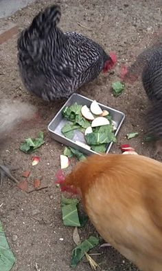 Treats for chickens