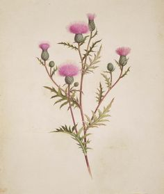 Thistle (1831–95). Watercolour by Isaac Sprague ( 1811–1895 ). Image and text courtesy MFA Boston.