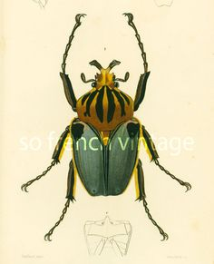 ORIGINAL ENGRAVING, NOT A COPY.  This print is taken from the Dictionnaire Universel d'Histoire Naturelle, a publication directed by the french naturalist Charles Henry Des... #orbigny #zoological #lithograph #entomology #illustration