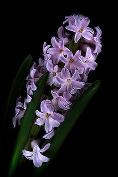 "(via ""Spring in a pot"" by EbyArts | Redbubble)  Hyacinth"