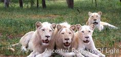 Ancestral bringers of light, White lions are revered as sacred animals by indigenous communities