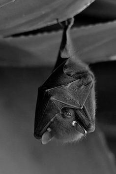Nature Animals, Animals And Pets, Beautiful Creatures, Animals Beautiful, Estilo Gossip Girl, Photo Animaliere, Baby Bats, Fruit Bat, Cute Bat