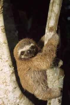 Photo print: Three-finger sloth: Source by artdotcom Pictures Of Sloths, Cute Sloth Pictures, Sloth Photos, Cute Baby Sloths, Cute Baby Animals, Baby Otters, Wild Animals, Three Toed Sloth, Sketches