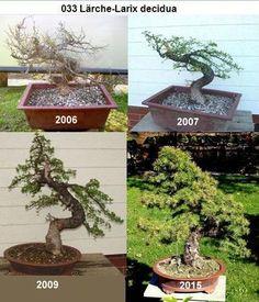Larch over time Terrarium Plants, Bonsai Plants, Bonsai Garden, Bonsai Making, Bonsai Tree Care, Plantas Bonsai, Juniper Bonsai, Bonsai Styles, Mini Bonsai
