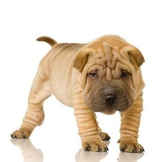 Shar pei love. This is for my mama
