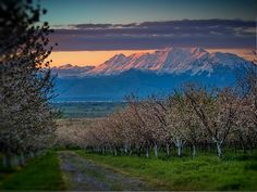 Cherry orchard and Mnt Timpanogos