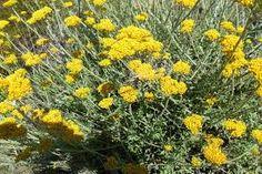 Image result for Helichrysum dasyanthum
