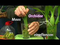 orchideen einpflanzen umtopfen ganz einfach youtube. Black Bedroom Furniture Sets. Home Design Ideas