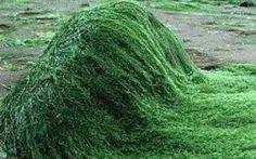 """Alga """"spirulina"""", un super alimento che tutti conoscono, ma usato da pochi"""