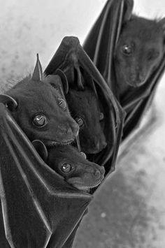 bats cuddling