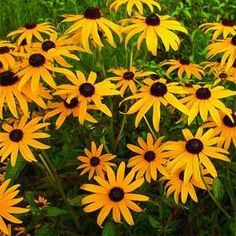 Ideal for Fence Wall Bed Hardy Perennial Flower Seeds beeFriendly 100pcs Rare Giant Sunflowers Seeds Colourfull Flower Sea