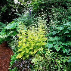 Make a bold, dramatic statement in your shade garden without flowers by combining plants with different foliage textures and colors. Here, golden meadow rue creates a stunning contrast to anemone, purple-leaf coralbells, and big-leaf umbrella plant.