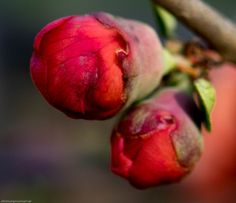 Ready to pop once the temps get a little bit warmer Double Take 'Orange Storm' Flowering Quince (Chaenomeles speciosa)