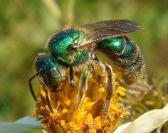 Augochlora - green metallic bee - Augochloropsis - female