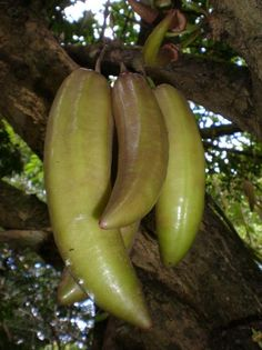 Common Name: Candle Tree Botanical Name: Parmentiera cereifera Specimens From: Singapore The candle tree is native to Panama. The fruits are attached to the trunk and branches and from a distance, it appear like many candles hanging from the tree. Types Of Fruit, Kinds Of Fruits, Fruit And Veg, Fruits And Vegetables, Fresh Fruit, Exotic Food, Exotic Fruit, Tropical Fruits, Exotic Plants
