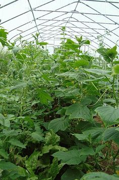 Tomatoes, cucumbers and beet greens in a high tunnel at Seasons Eatings Farm, Maine.