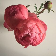 be present, be here - peonies and poetry :: because these take my breath away again and again. because peonies teach us. because this color. Yes.