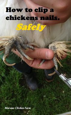How and when to cut a chicken's nails. You may need to clip your backyard chickens nails after winter or being broody. Here's how to do it safely. Portable Chicken Coop, Best Chicken Coop, Backyard Chicken Coops, Chicken Coop Plans, Building A Chicken Coop, Backyard Poultry, Chicken Tractors, Raising Backyard Chickens, Keeping Chickens