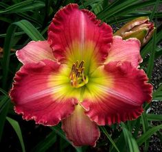 MARILYN LEE BOCK - DF - B3E - Selman 2007 - DAYLILY - Listing # 194453 - Daylily Auction - Flower Garden Auction