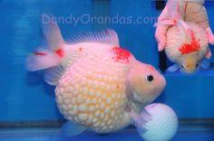 super fat pearlscale goldfish Pet Goldfish, Goldfish Tank, Aquarium Set, Pretty Fish, Golden Fish, Freshwater Aquarium Fish, Art Reference, Fancy, Koi Ponds