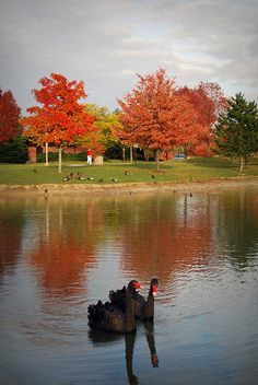 Black Swans | Ohio Northern University