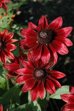 Cherry Brandy Coneflower (Rudbeckia hirta