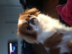 My sweet Japanese Chin, Chancellor.