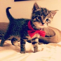 Kitten with a bow #cute #baby #animals