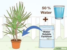How to Care for a Madagascar Dragon Tree. The Madagascar dragon tree, or Dracaena marginata, is a reliable and low-maintenance indoor plant. If you live in a warm area with extremely mild winters, you can also keep this colorful tree. Madagascar Dragon Tree, Green Bedroom Decor, Low Maintenance Indoor Plants, Colorful Trees, 5 Ways, Image