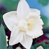 Mount Hood Daffodil 25 Bulbs $25