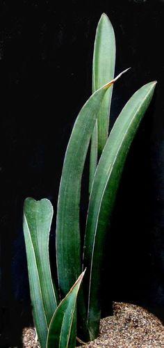 Sansevieria sinis-simiorum  adult leaves  CG93.1