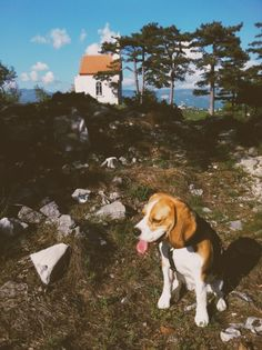 #beagle Leia | Dog | VSCO Grid™