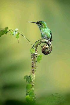 Fiddlehead perch