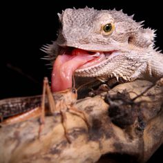 I was so happy when I saw that they ate like chameleons!! Their little tongue comes out and it makes me happy!!