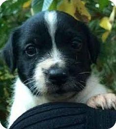 Bradenton, FL - Terrier (Unknown Type, Medium)/Corgi Mix. Meet Pongo, a puppy for adoption. http://www.adoptapet.com/pet/17149475-bradenton-florida-terrier-unknown-type-medium-mix